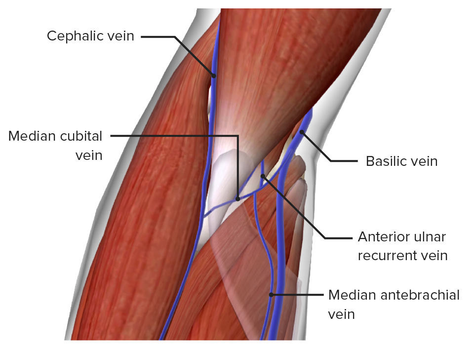 Superficial veins of the elbow