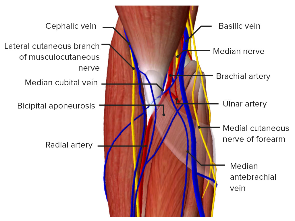 Superficial view of the cubital fossa