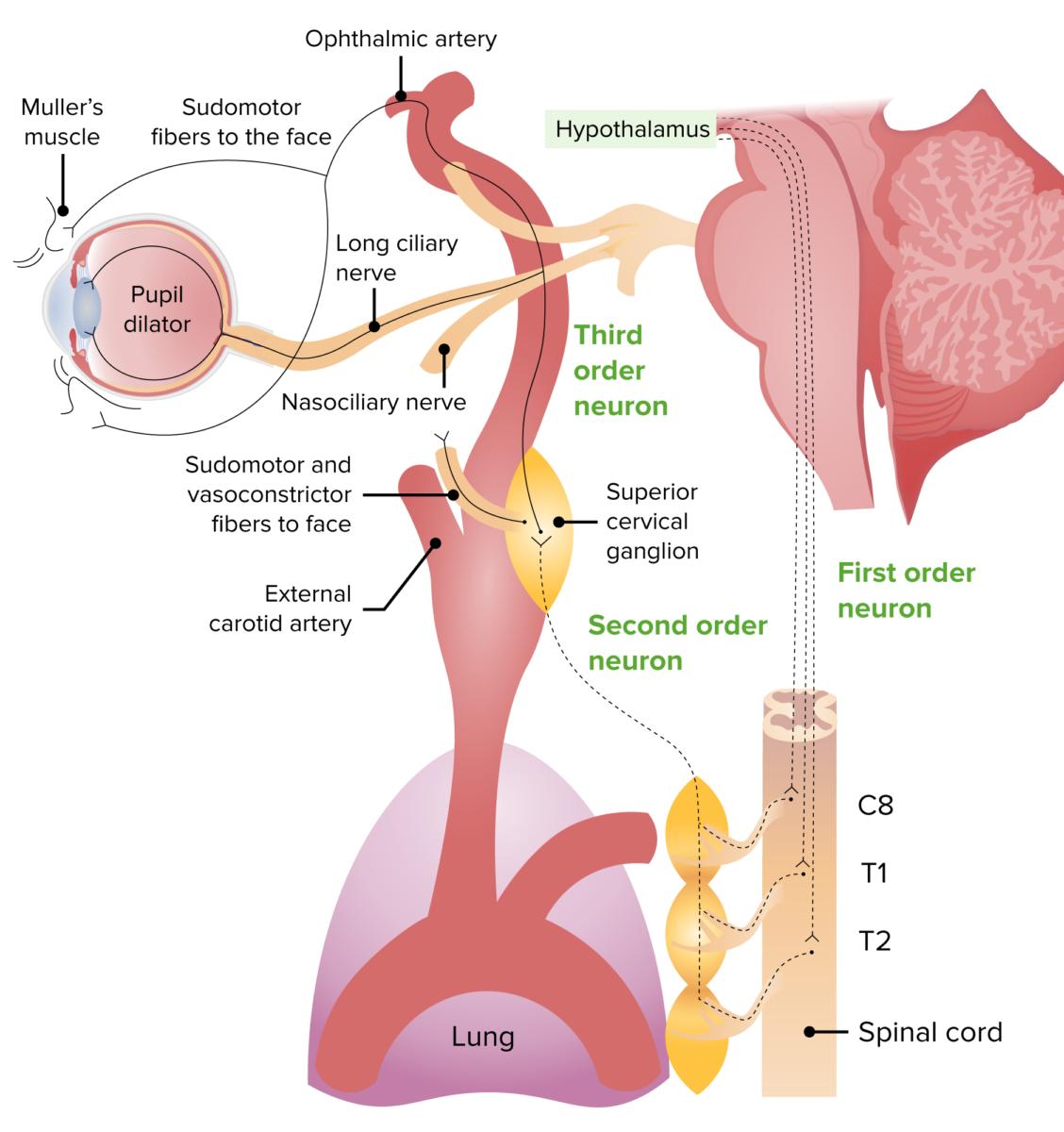 Sympathetic innervation pathway