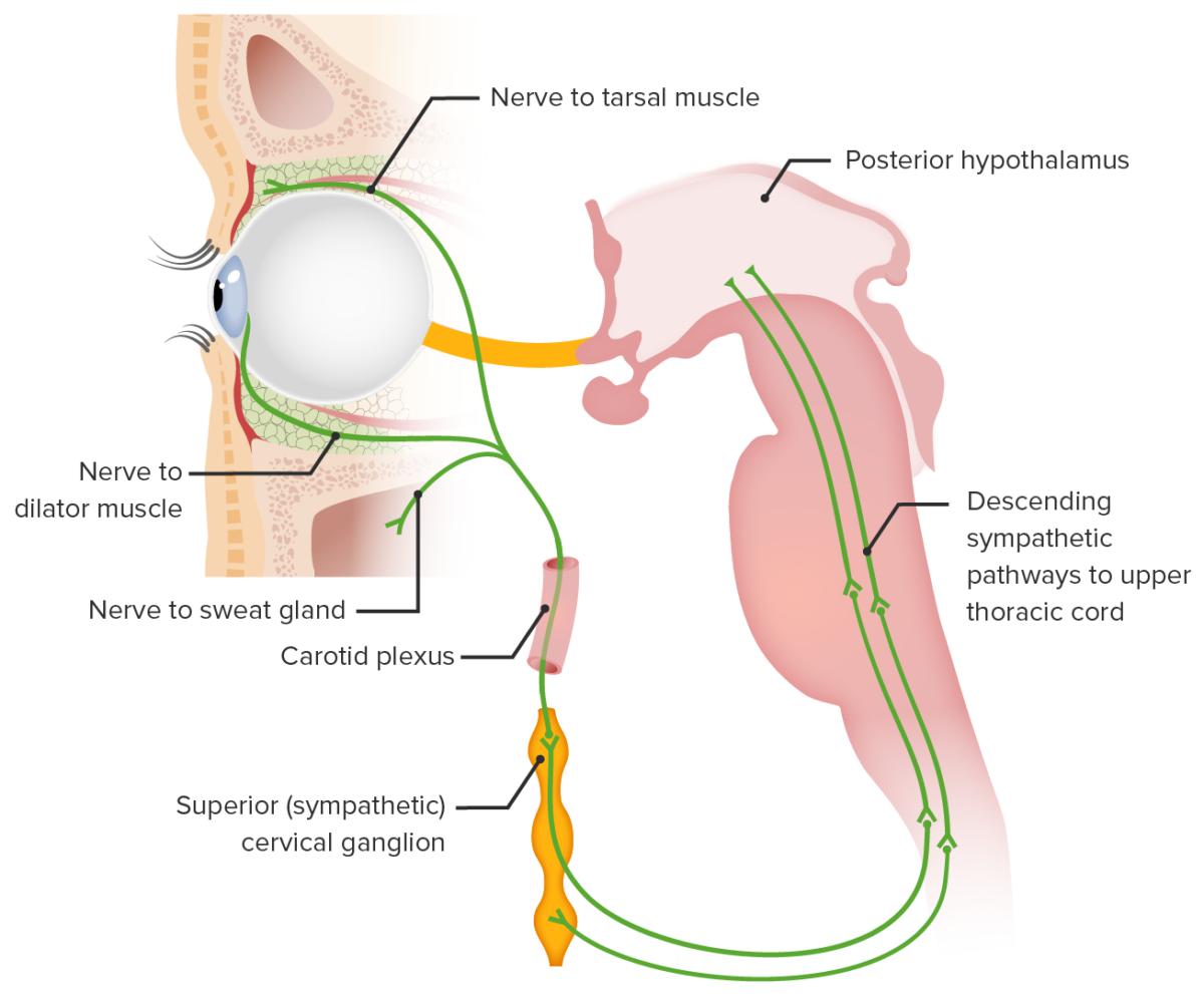 Sympathetic pathway of eye