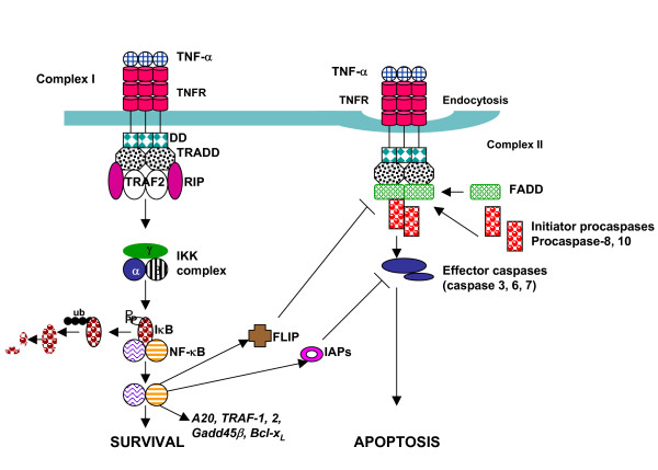 TNF-receptor-TNFR-pathway-of-signaling-Two-complex-model-is-shown-Upon-ligation-with tumor necrosis factor