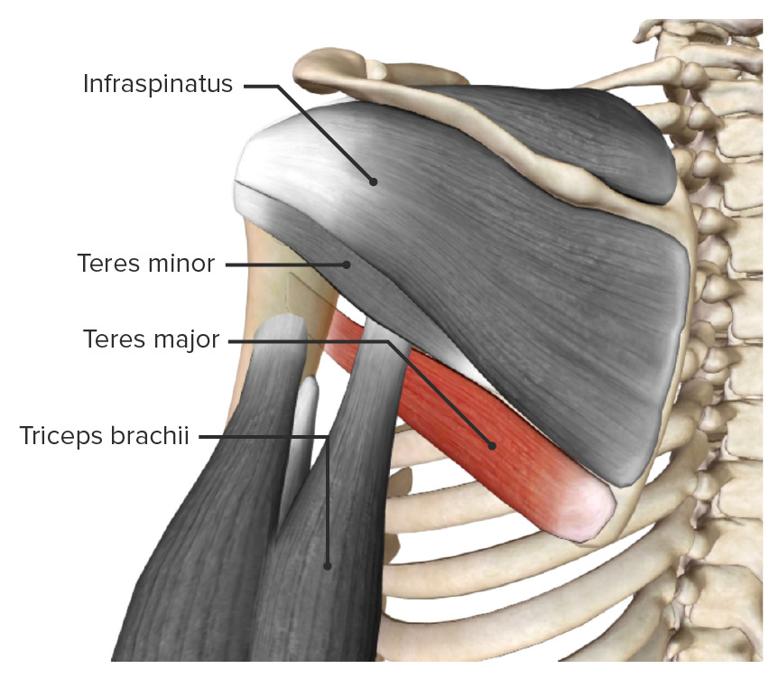 Teres major muscle