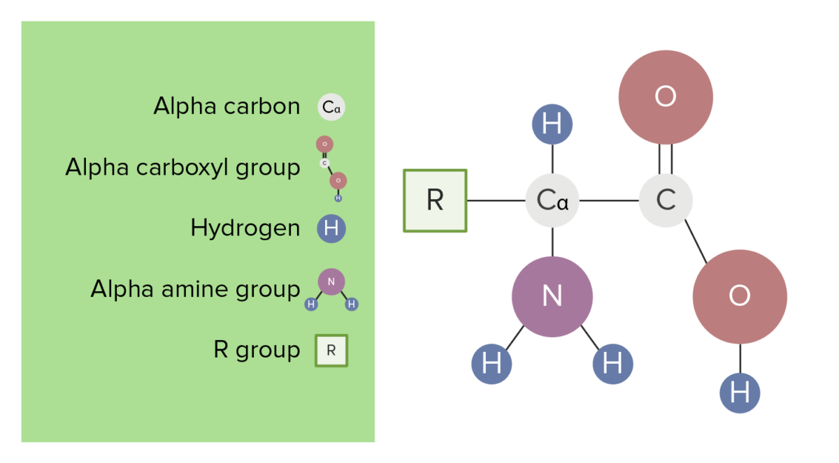 The basic structure of amino acids diagram