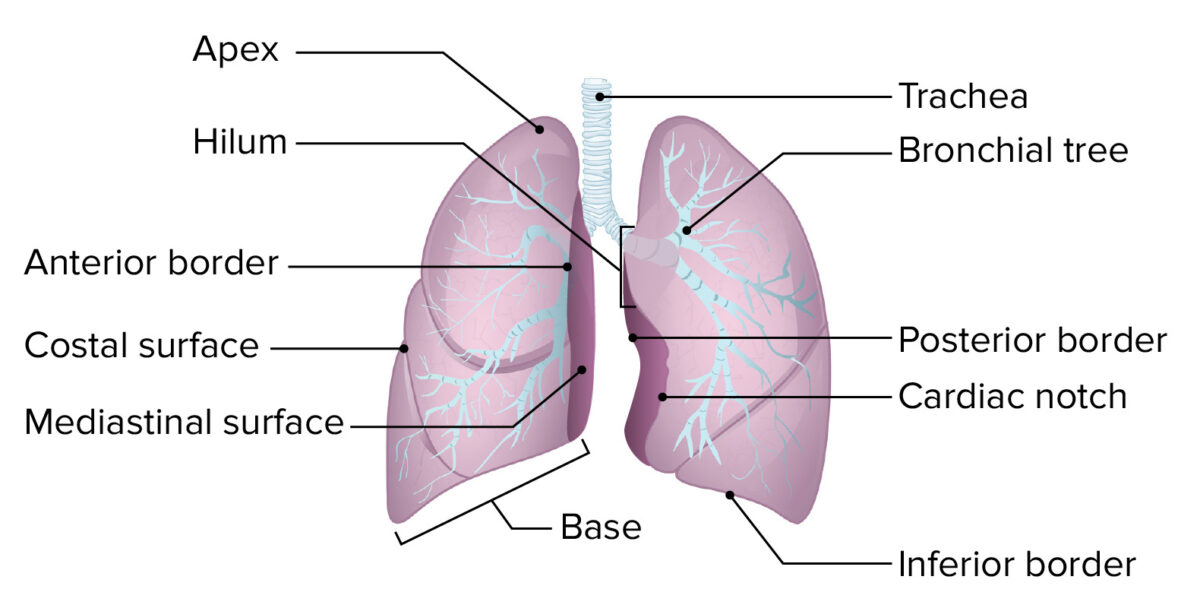 The basic structure of the lung