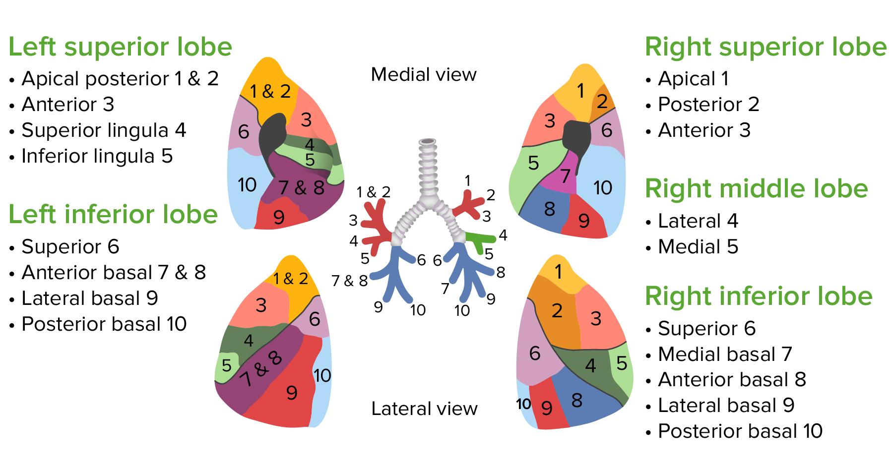 The bronchopulmonary segments of the lungs (1)