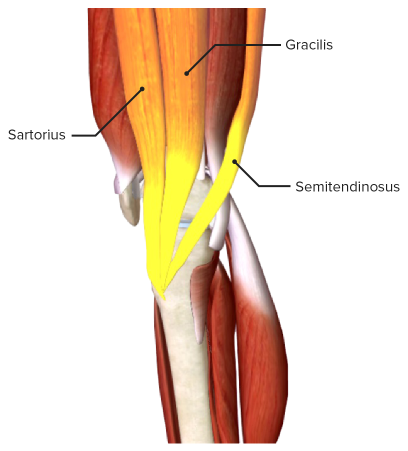 Conjoined tendon of the gracilis, sartorius, and semitendinosus muscles