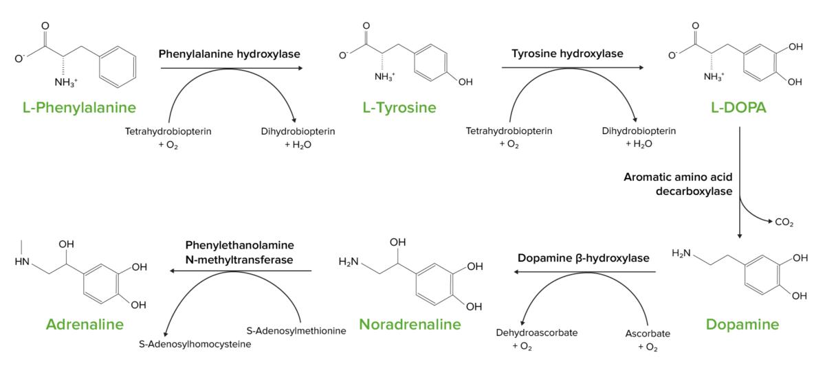 The conversion of L-phenylalanine into L-tyrosine