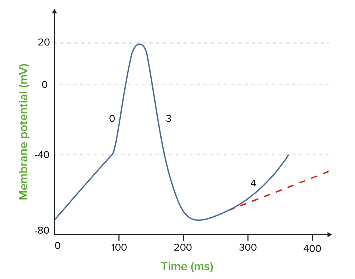 The effect of class 2 antiarrhythmics (beta blockers) on the nodal action potential