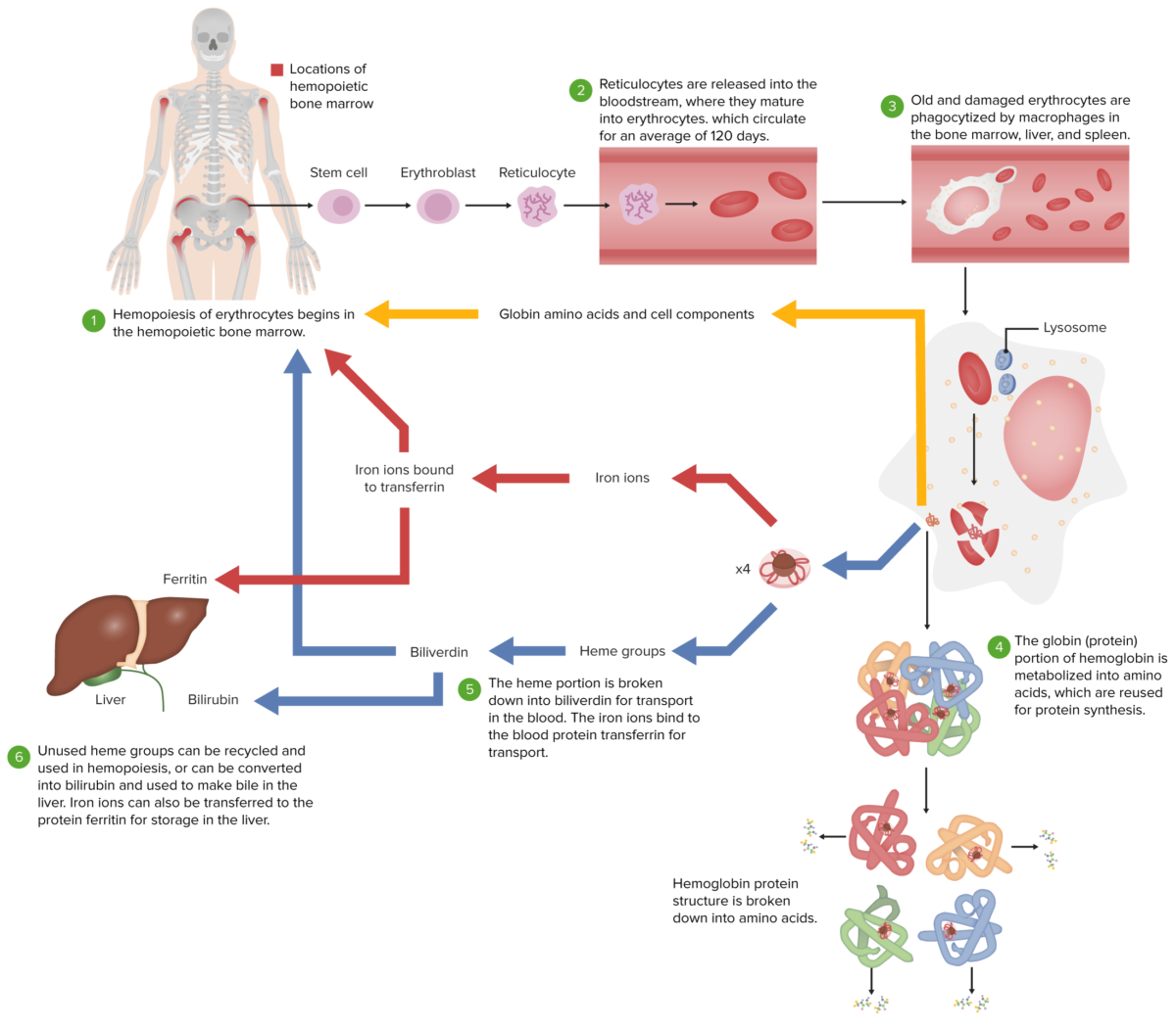 The erythrocyte lifecycle