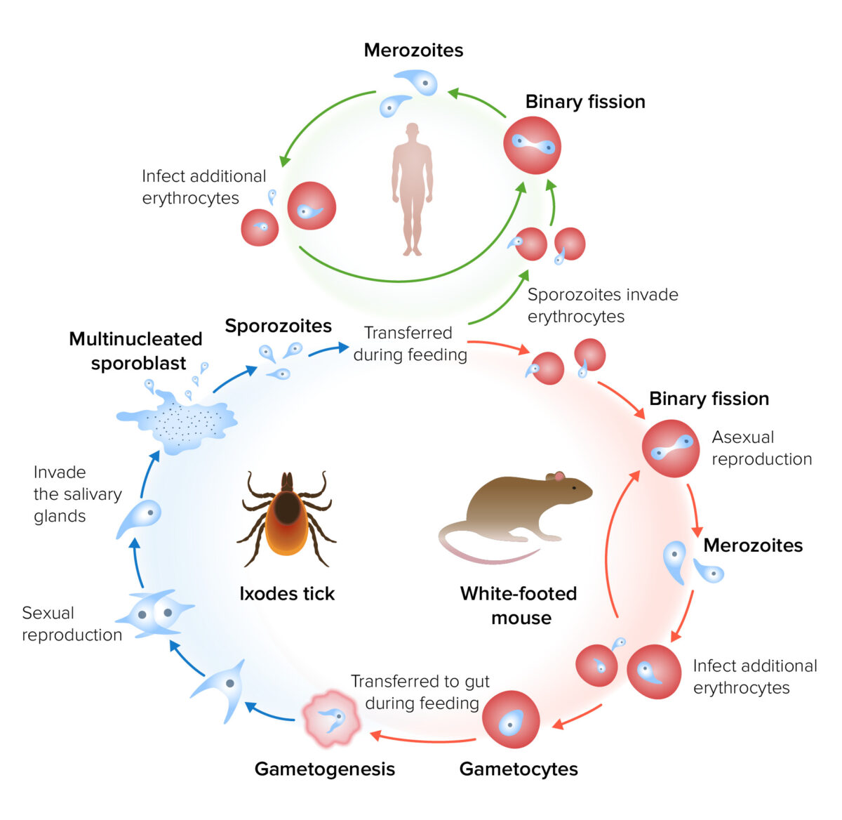 The life cycle and transmission of Babesia