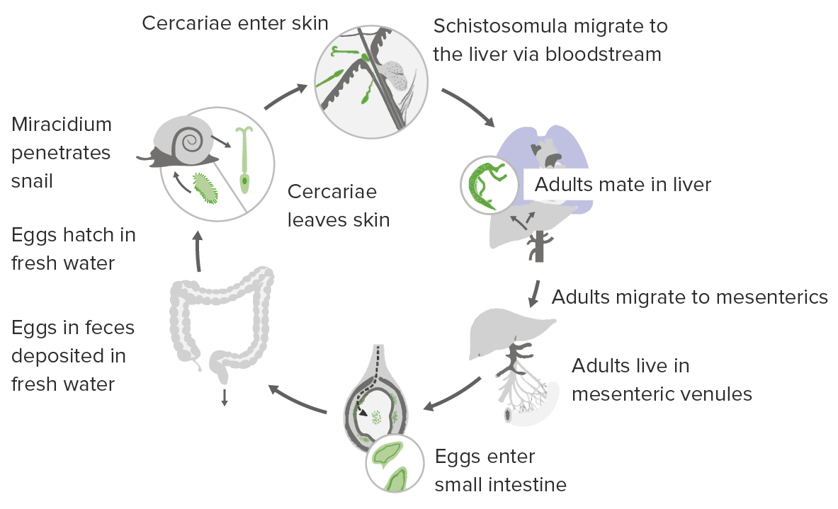 The life cycle of Schistosoma