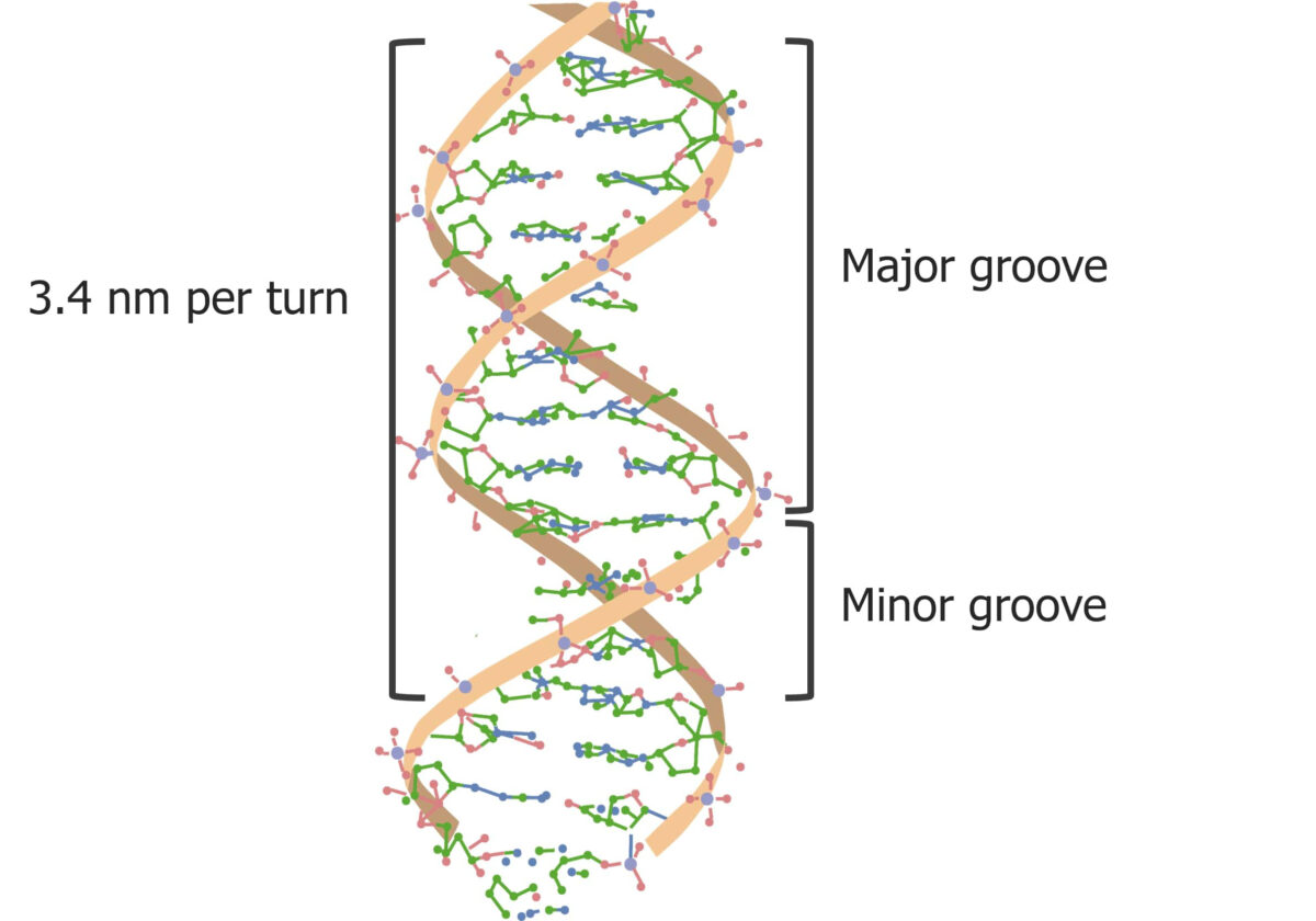 The major and minor grooves in DNA
