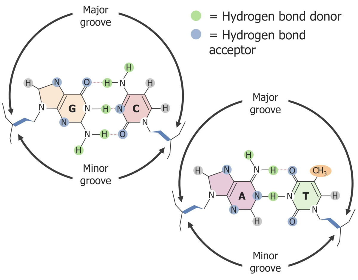 The major and minor grooves in DNA, hydrogen bonds