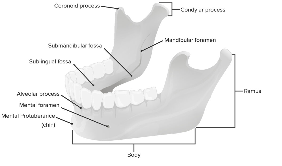 The mandible Jaw joint