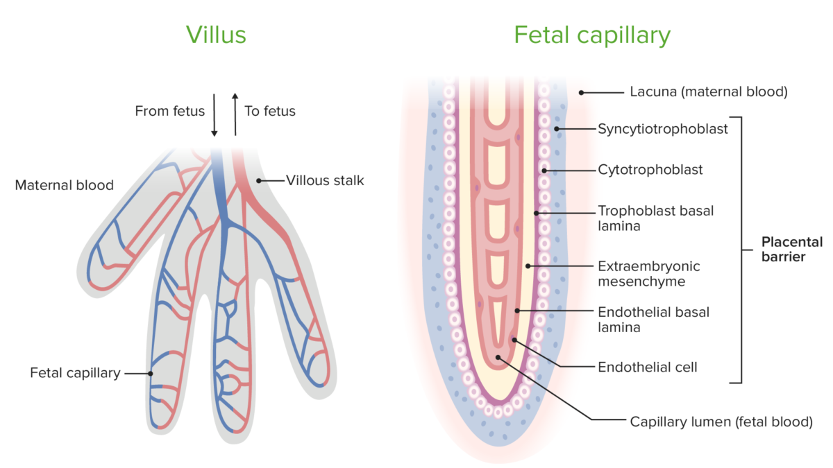 The placental barrier