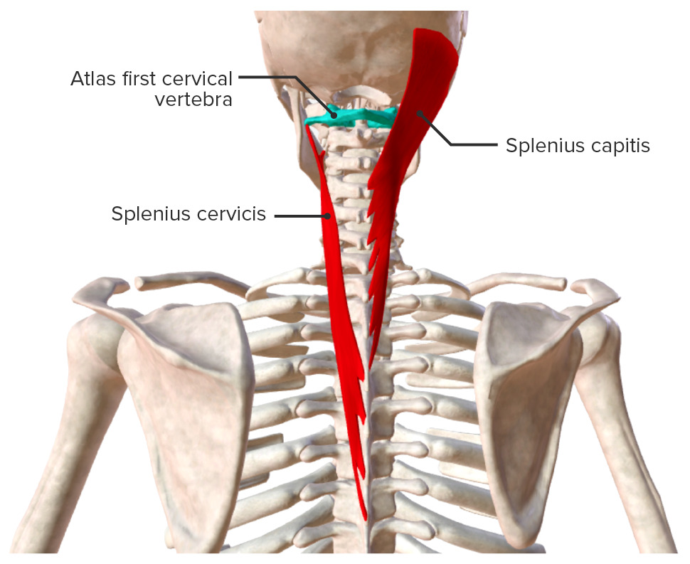 The superficial layer of the intrinsic back muscles Biodigital