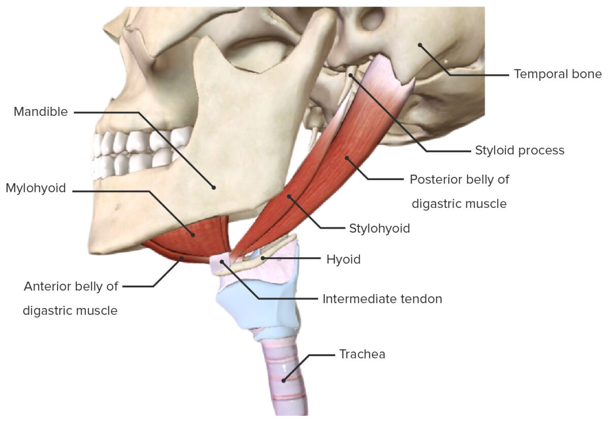 The suprahyoid group of the extrinsic laryngeal muscles