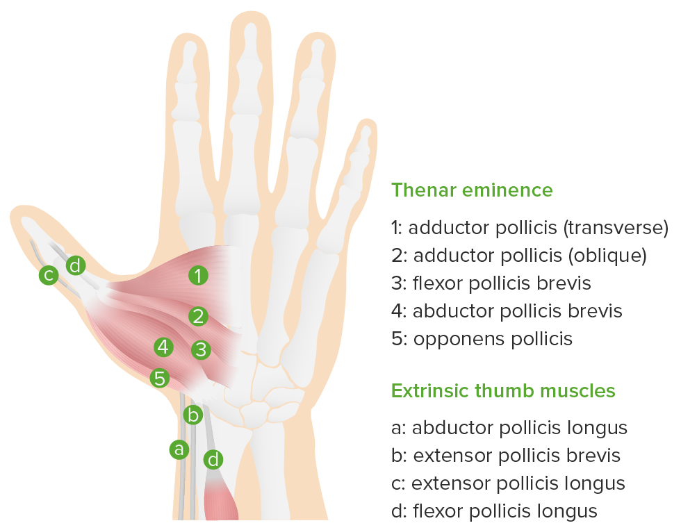 Thenar muscles in hand