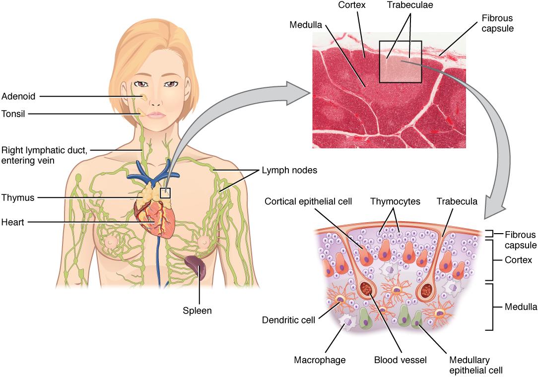 Thymus diagram