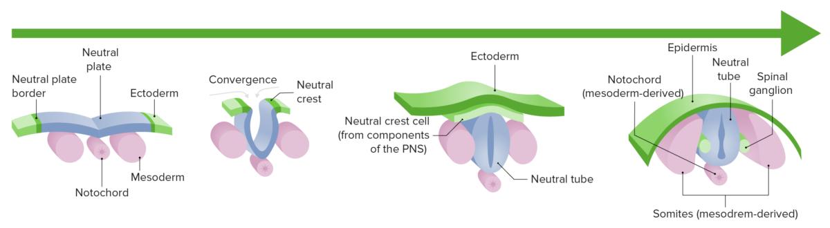 Timeline Neurulation