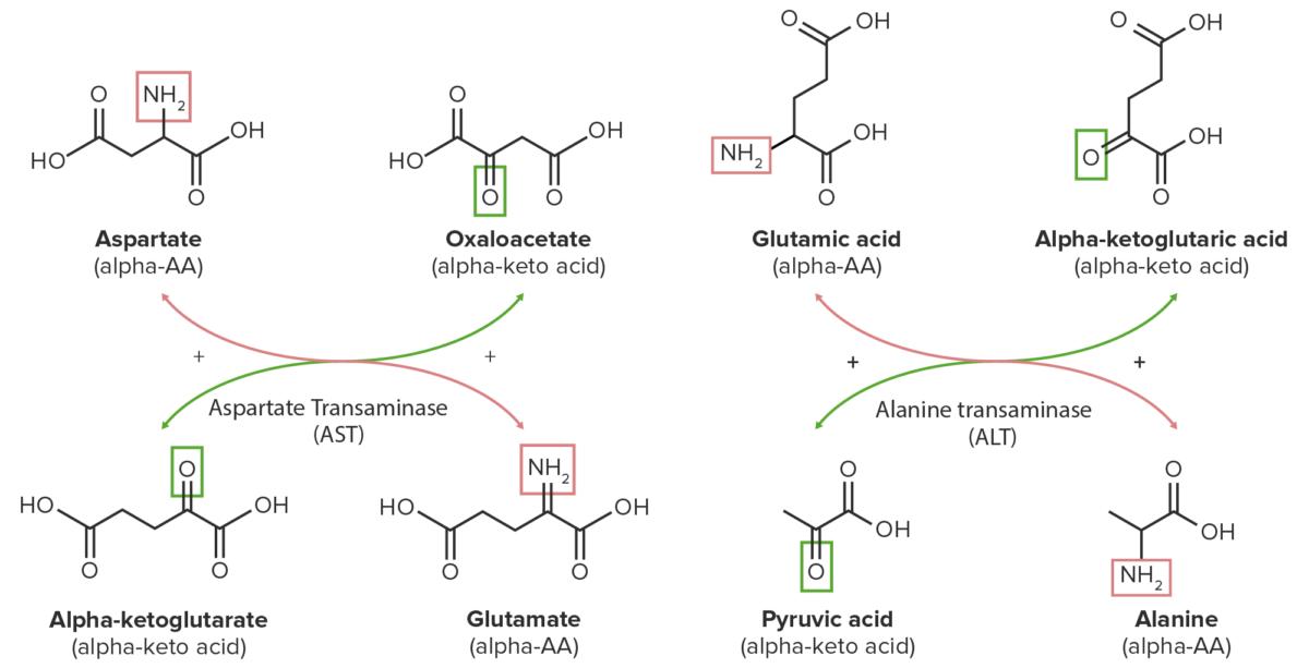 Transamination of aspartate and glutamate