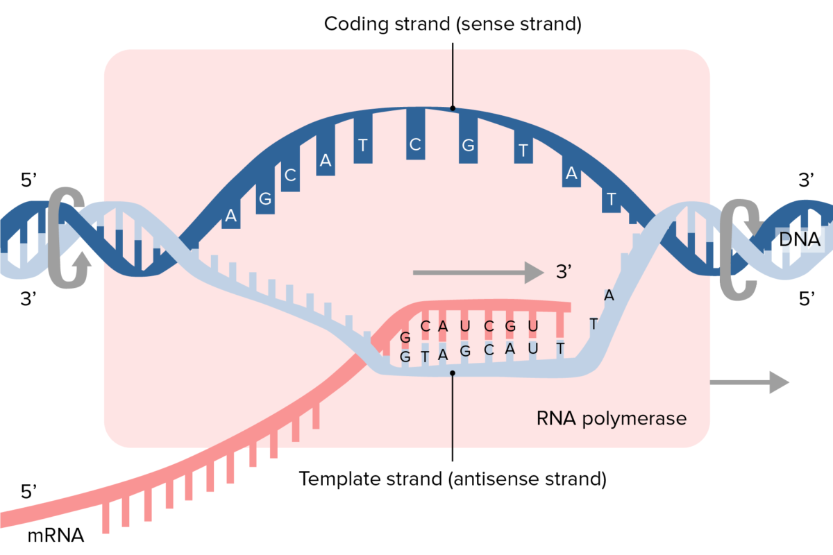 Transcription process and synthesis of mRNA