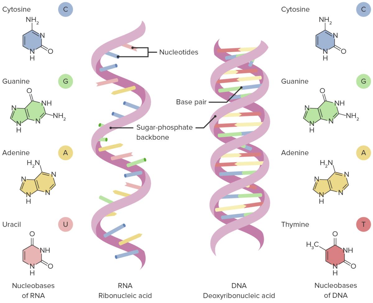 Transcription Nucleic-acids