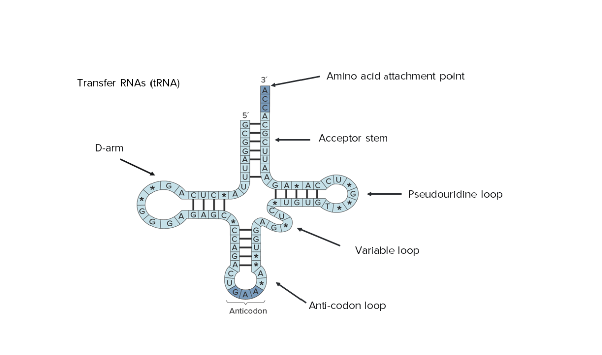 Transfer RNAs (tRNA)