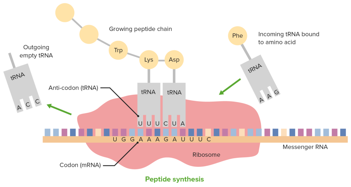 Translation and the role of tRNA