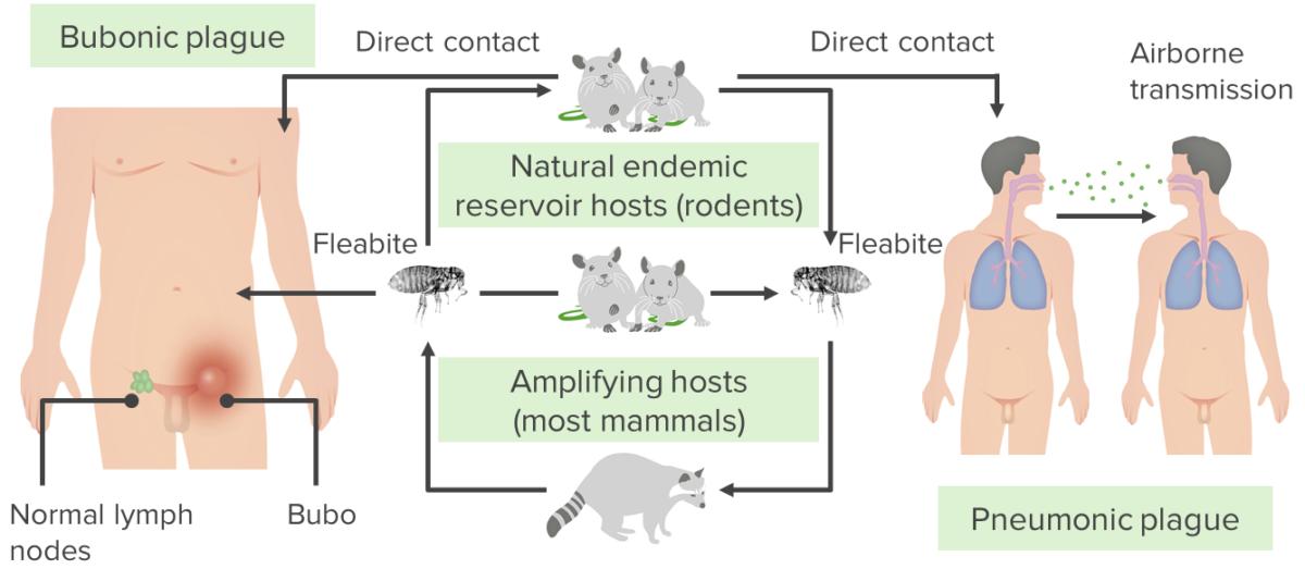 Transmission of Y. pestis