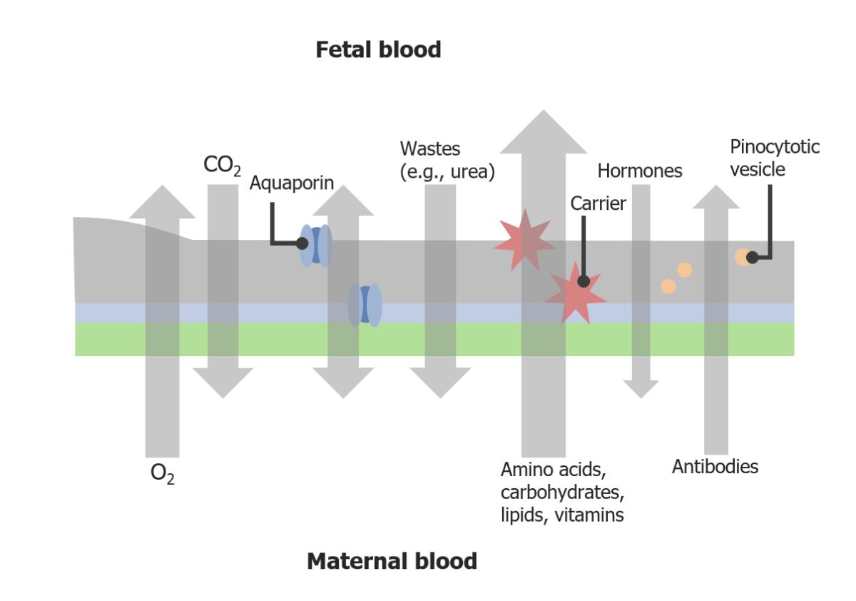 Transport across the placental barrier diagram