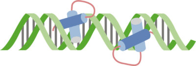 2 helix–turn–helix regulatory proteins bound to DNA in the major groove
