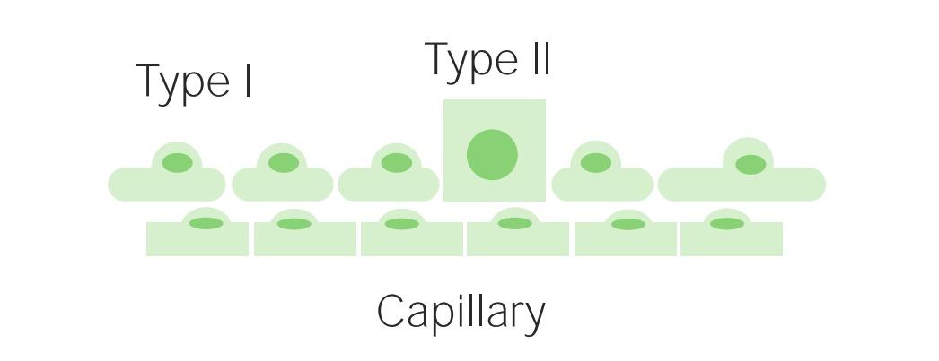 Type 2 pneumocyte formation