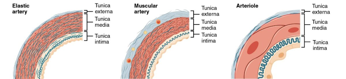 Types of Arteries and Arterioles