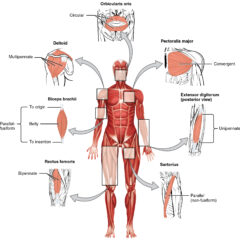 Types of organization within muscles