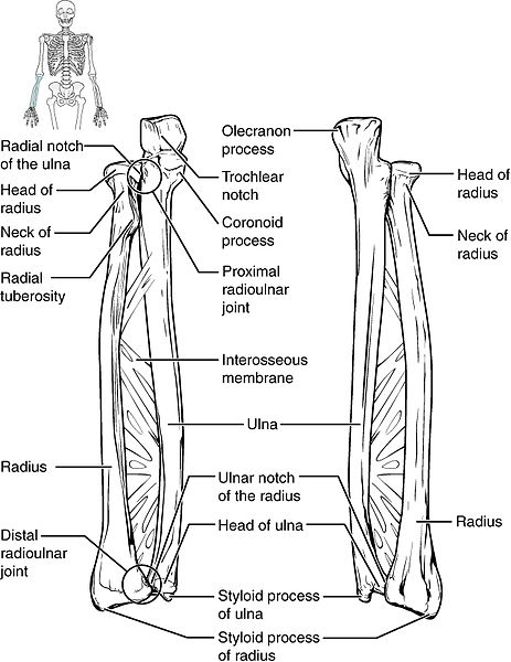 Ulna and radius drawing