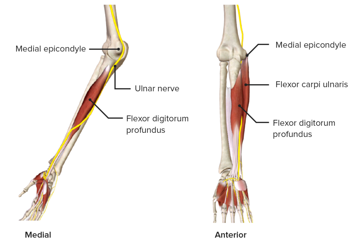 Ulnar nerve as it passes through the medial aspect of the forearm