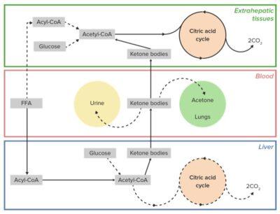 Utilization of ketone bodies