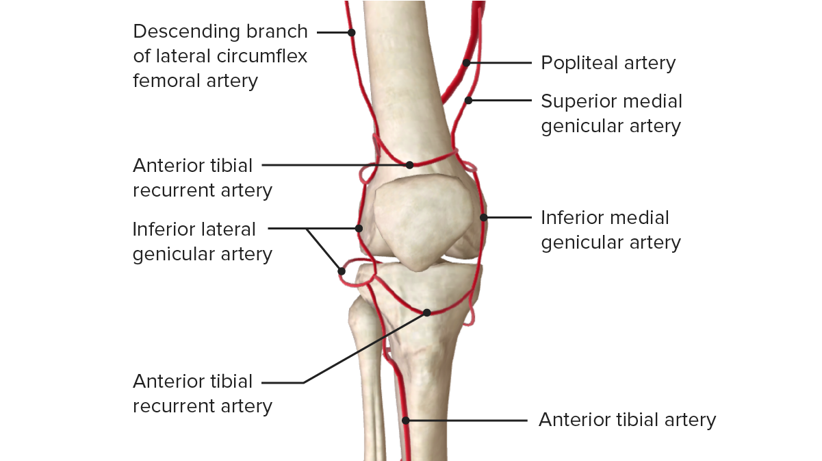 Vascular Supply of the Knee (Anterior view)