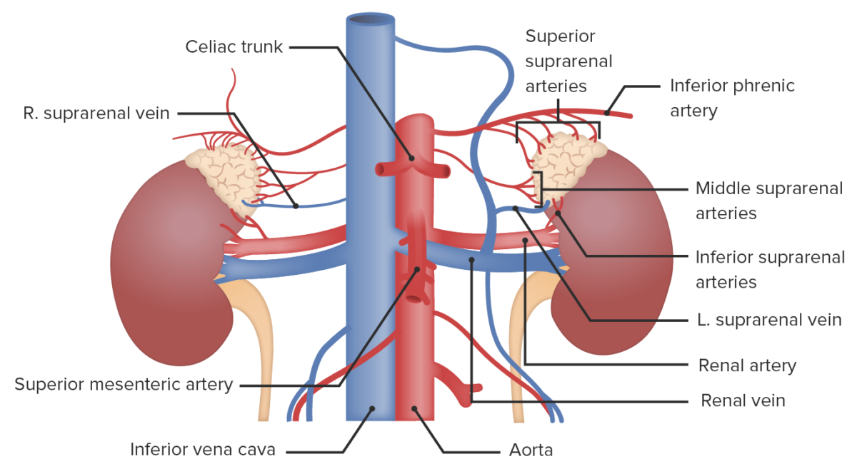 Vascular supply to the adrenal glands