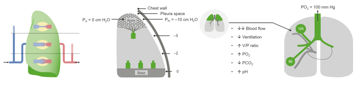 Ventilation Perfusion relation Gas Exchange