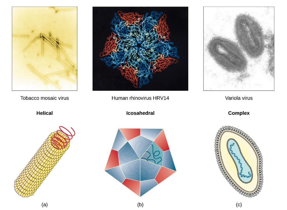 Viral capsids shapes