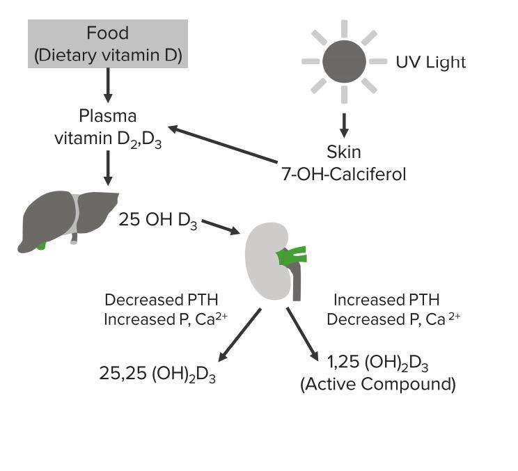 Vitamin D cycle