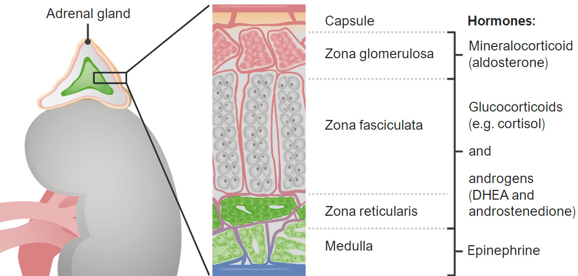 Zones of the adrenal cortex and medulla