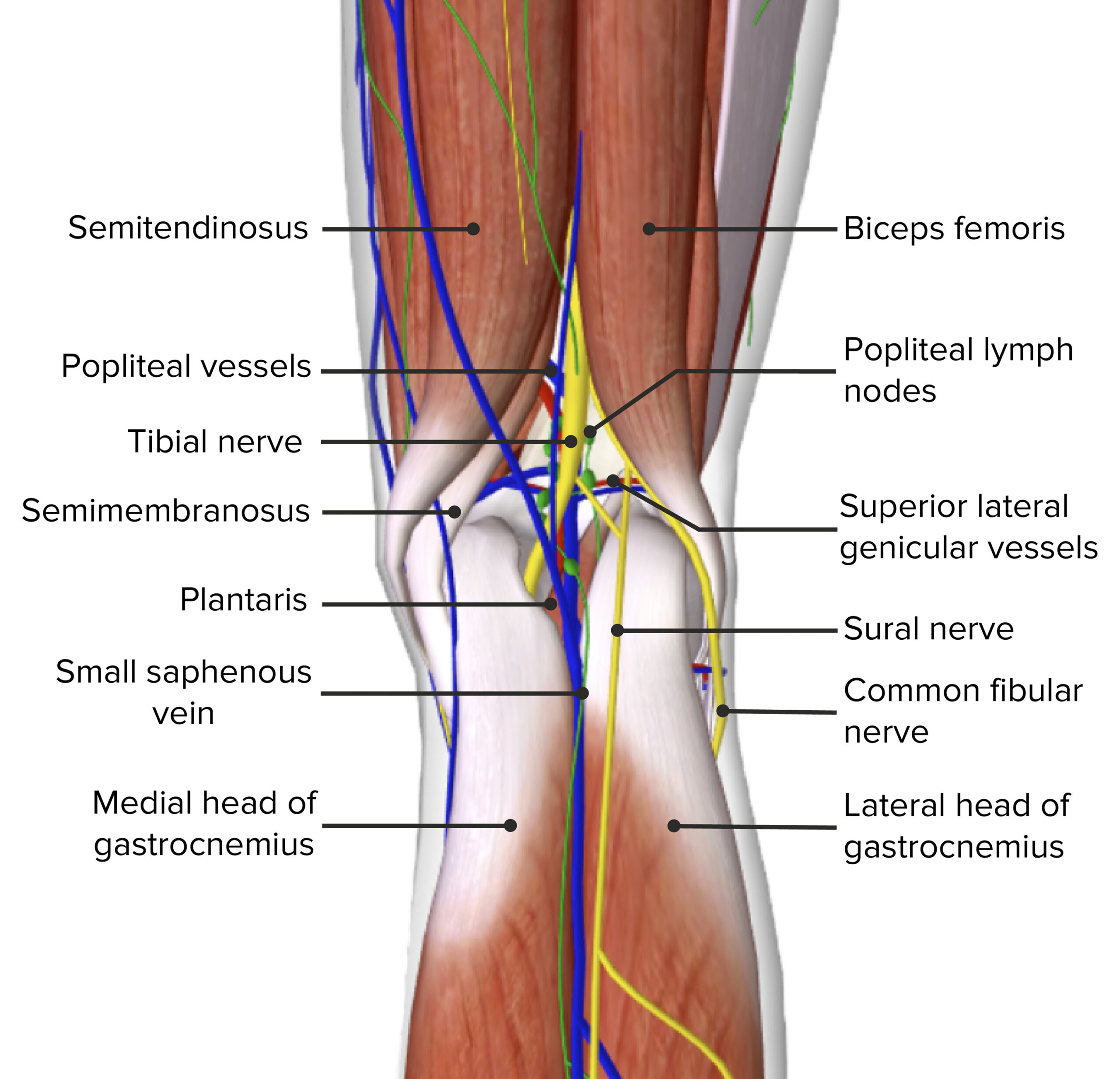 Contents of the popliteal fossa