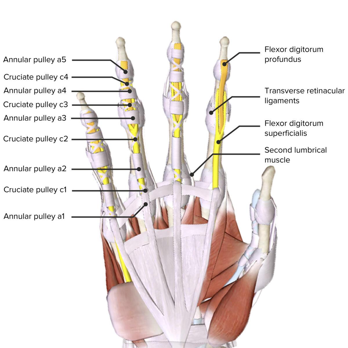 flexor pulley system