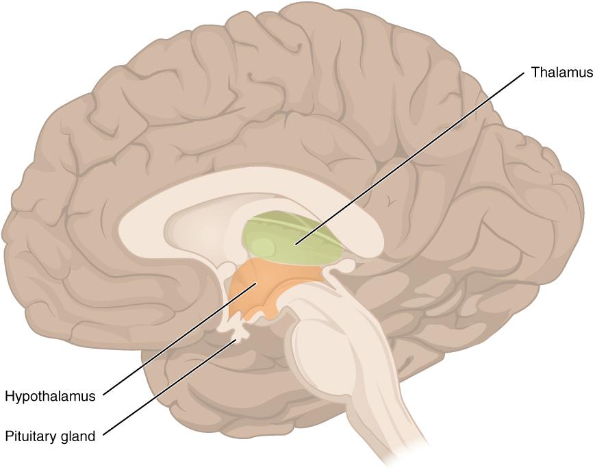 hypothalamus within the brain