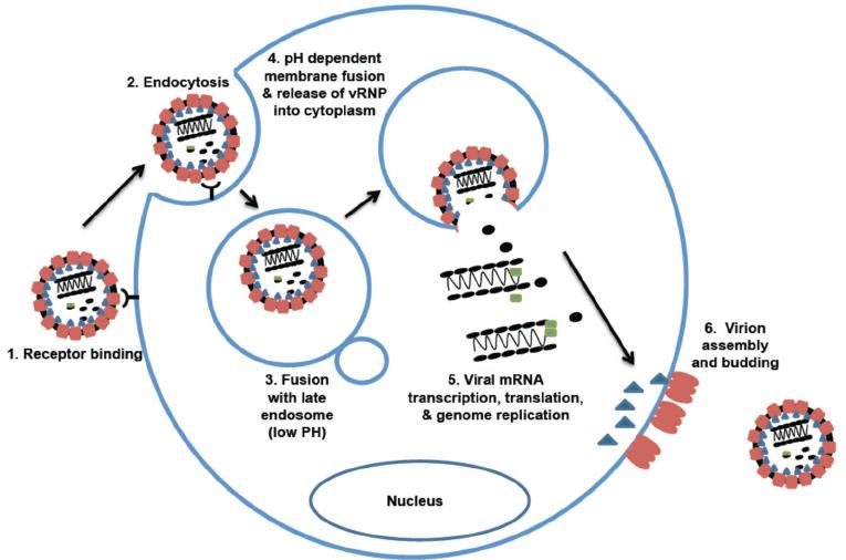 life cycle of lymphocytic choriomeningitis virus