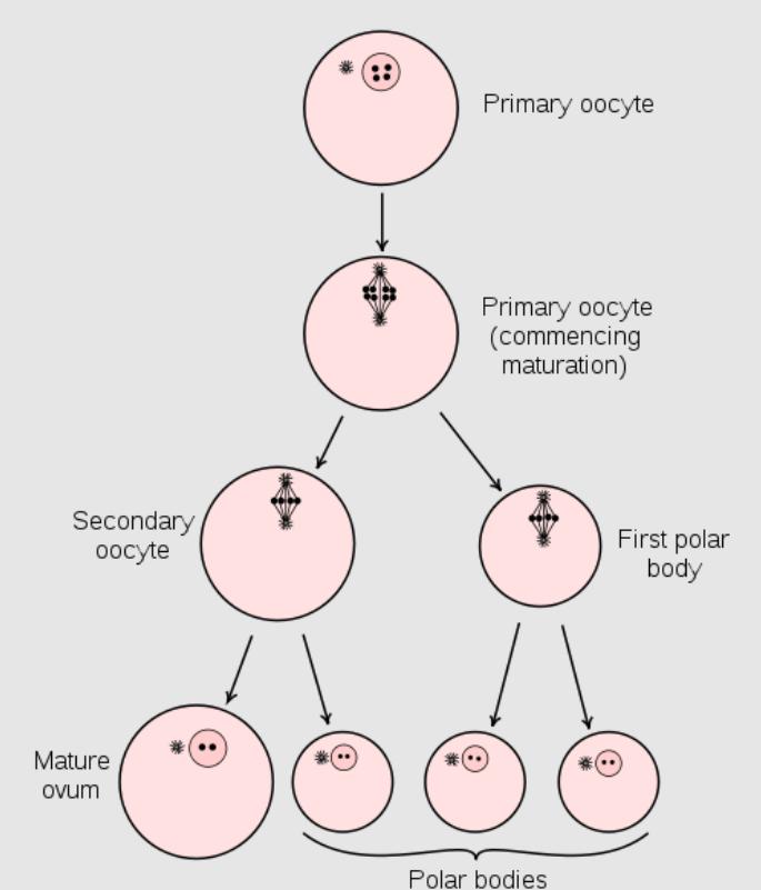 Maturation of the ovum