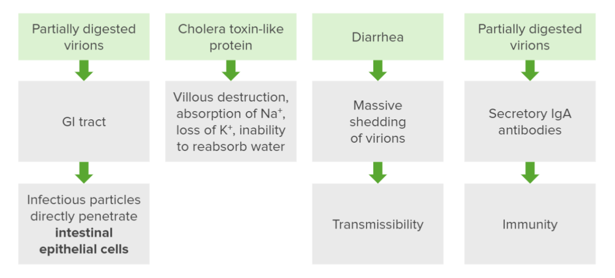 pathogenesis of rotavirus infection flowchart